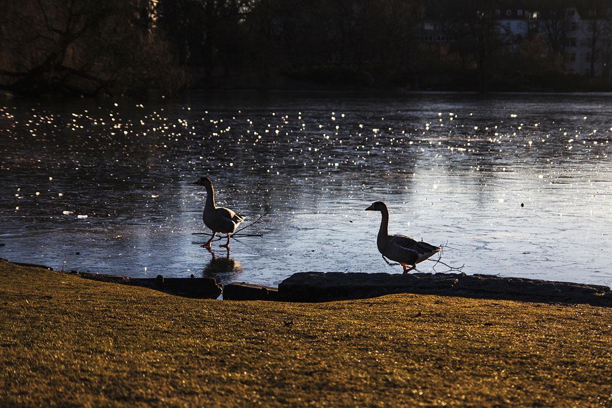 wintertag-kiel-foerdefraeulein-schrevenpark-enten-3