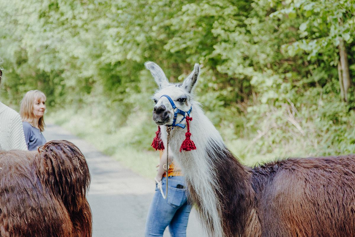 Wir sind nach Aukrug zur kleinen Wunderwiese gefahren und sind auf Wanderschaft mit Lamas und Alpakas gegangen