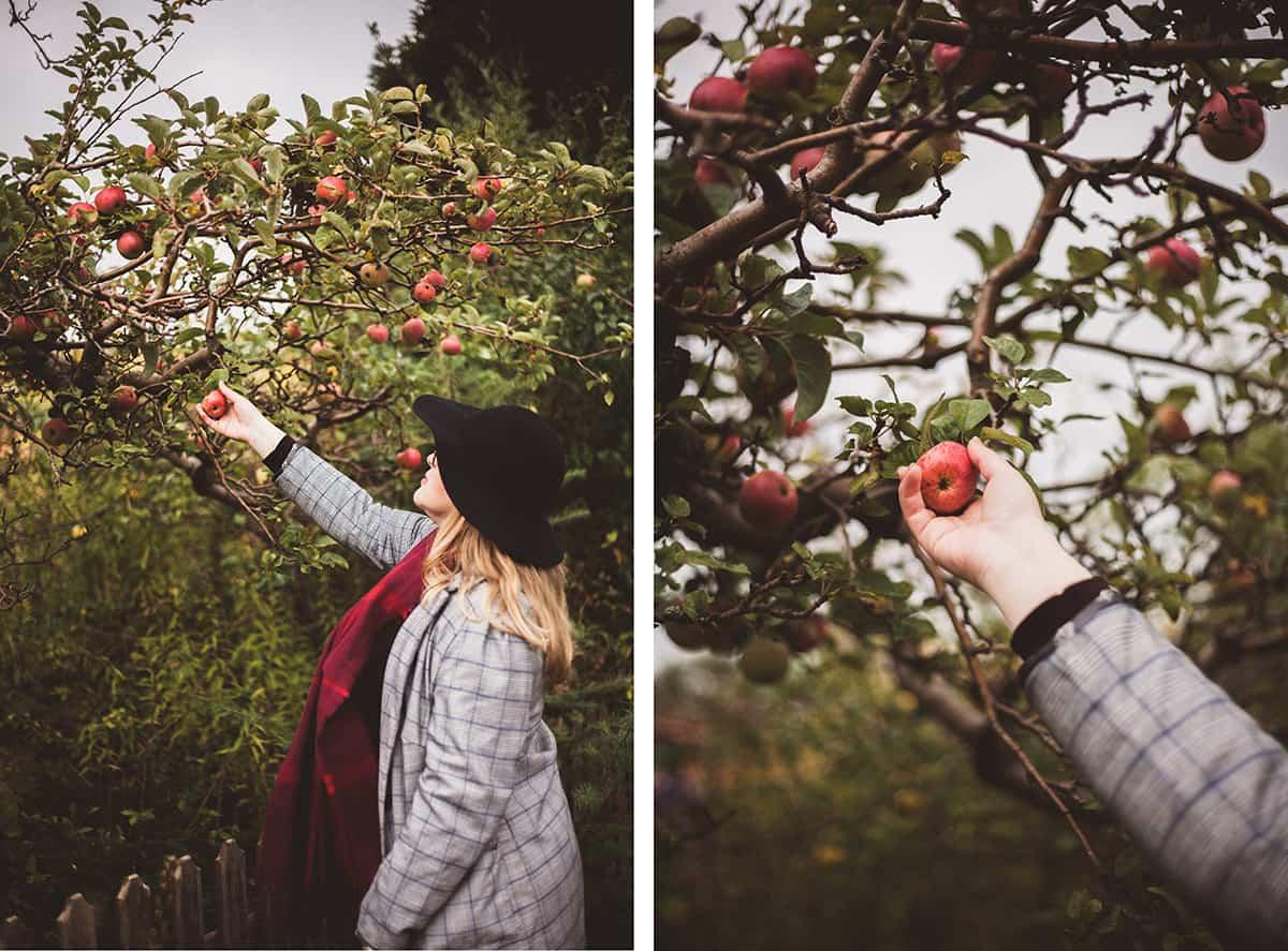 Apfelbaum Äpfel pflücken im Herbst