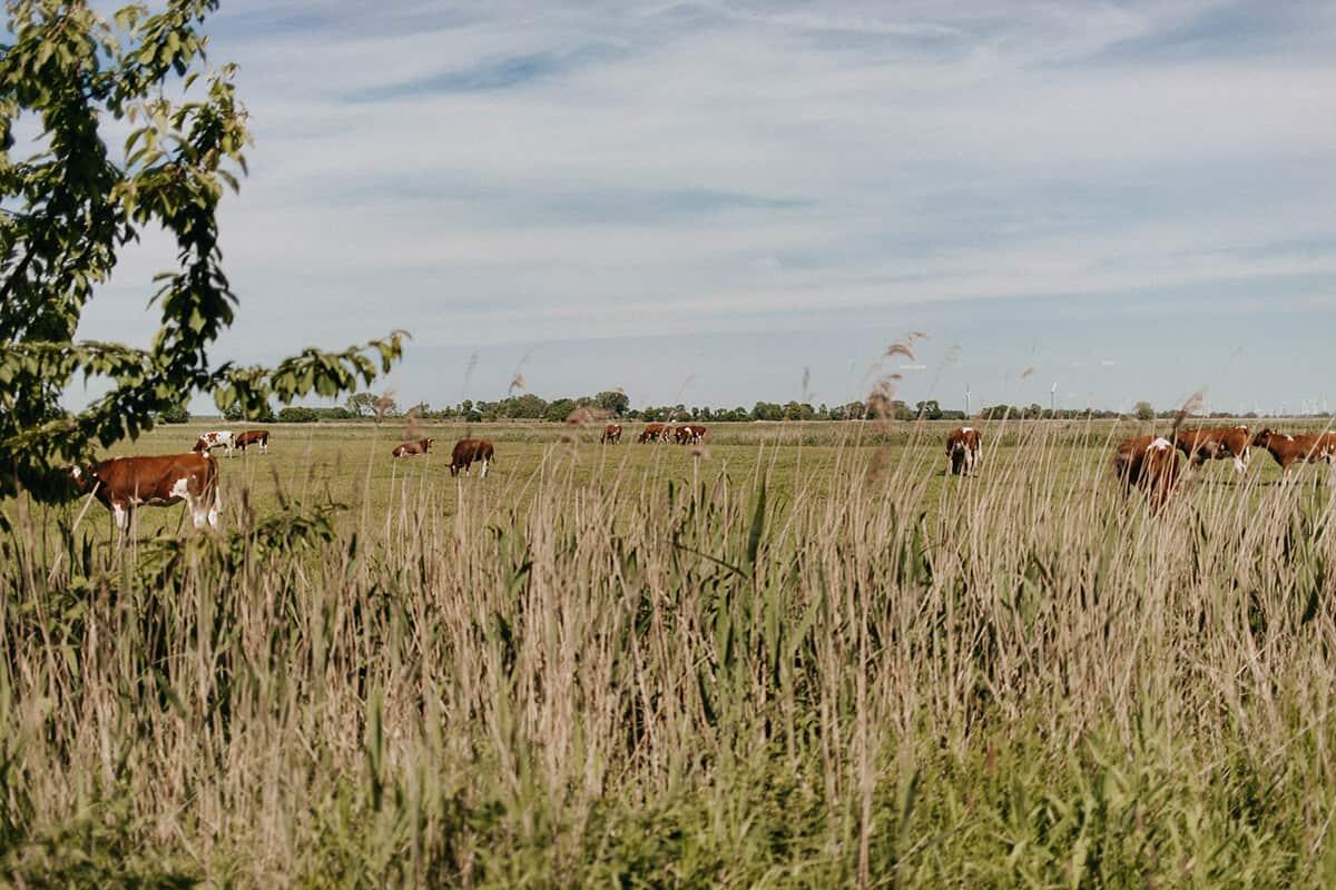 Kühe auf Wiese in Glückstadt