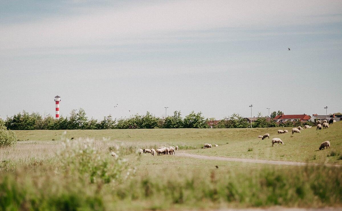Schafe auf Deich in Glückstadt