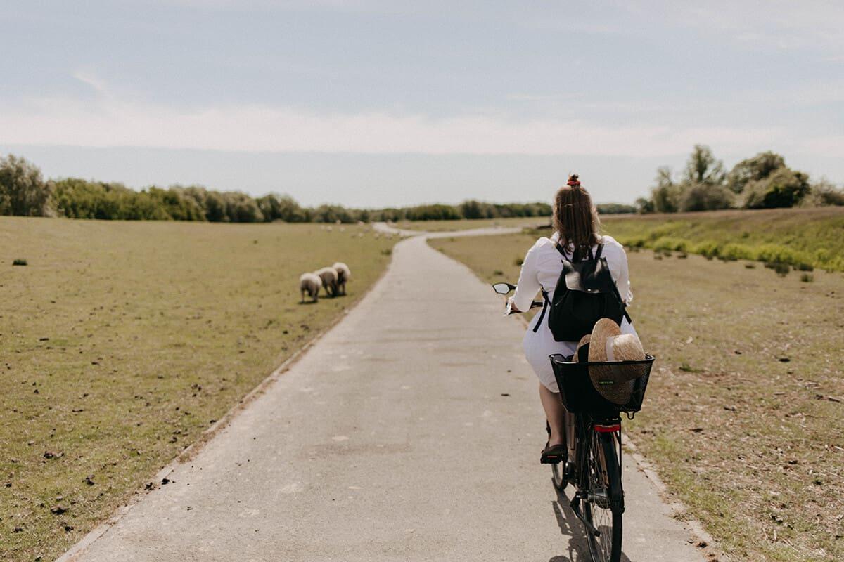 Fahrradtour mit Schafen auf dem Deich in Glückstadt