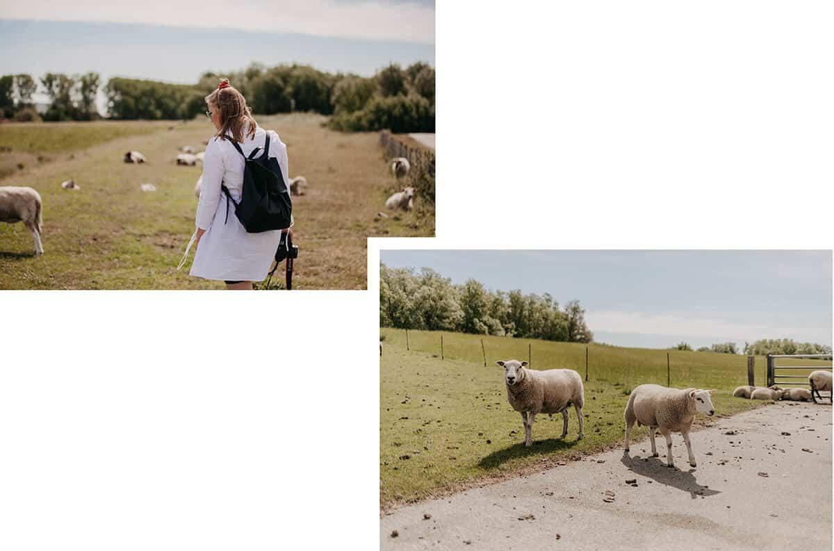 Frau mit Schafen auf Deich in Glückstadt