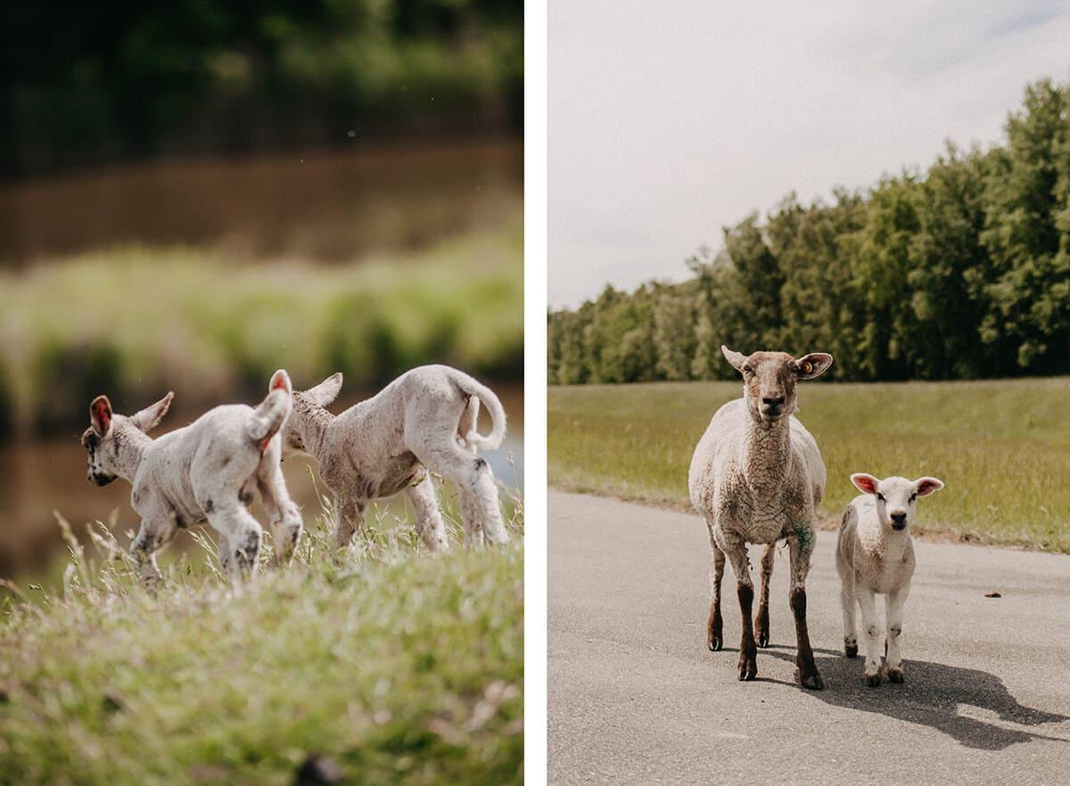 Schafe auf dem Deich in Glückstadt