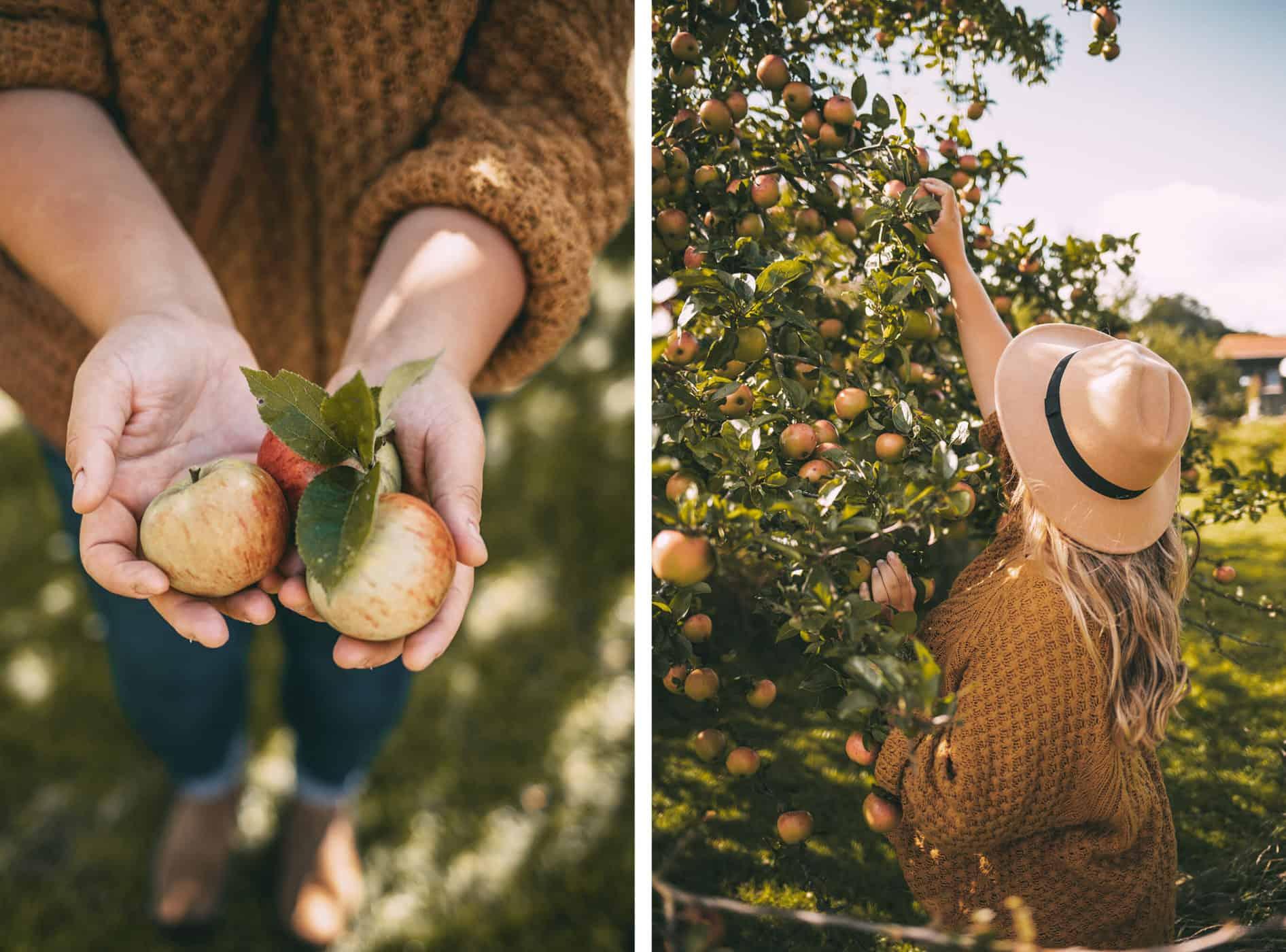 Herbst an der Schlei Tipps Herbstferien Schleswig-Holstein: Apfelbäume