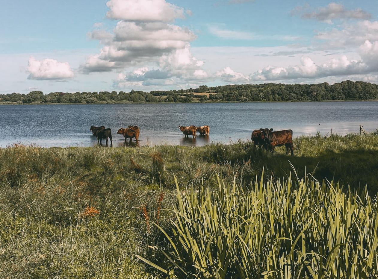 Galloway Rinder Geltinger Bucht