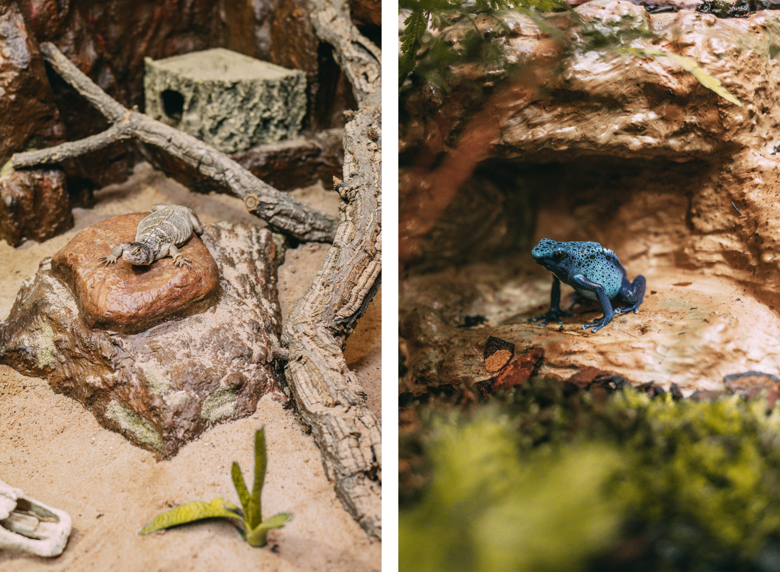 Terrarien Blauer Frosch