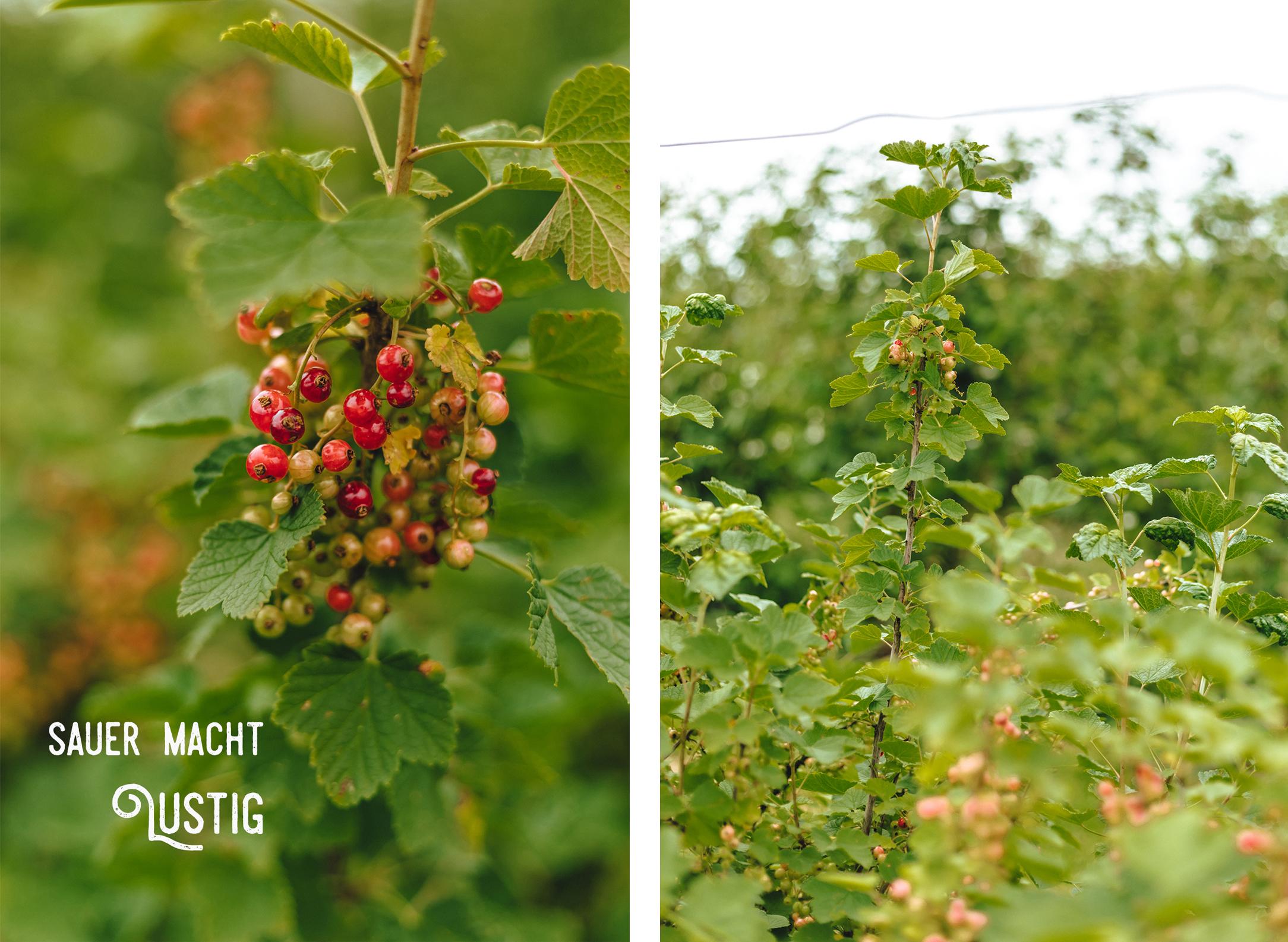 Erdbeer- und Himbeerhof Gut Steinwehr: Johannisbeeren